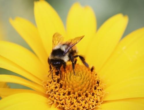Tips for Raising Honey Bees