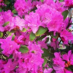 PJM Rhododendren in full bloom in the street garden athellip