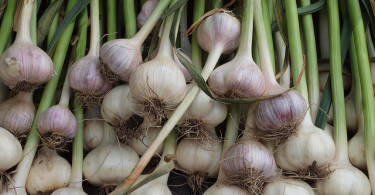 garlic-bulbs