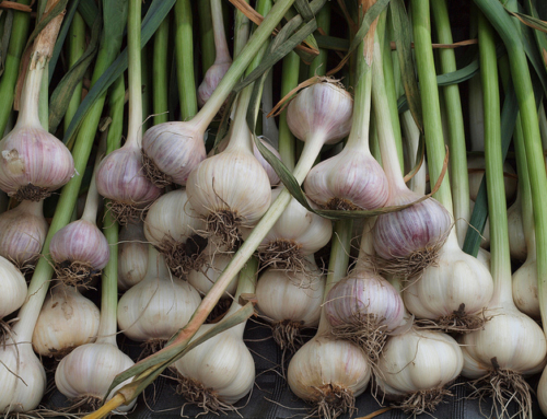 Growing Garlic for Summer Harvest