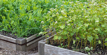 cover-crops-in-raised-beds