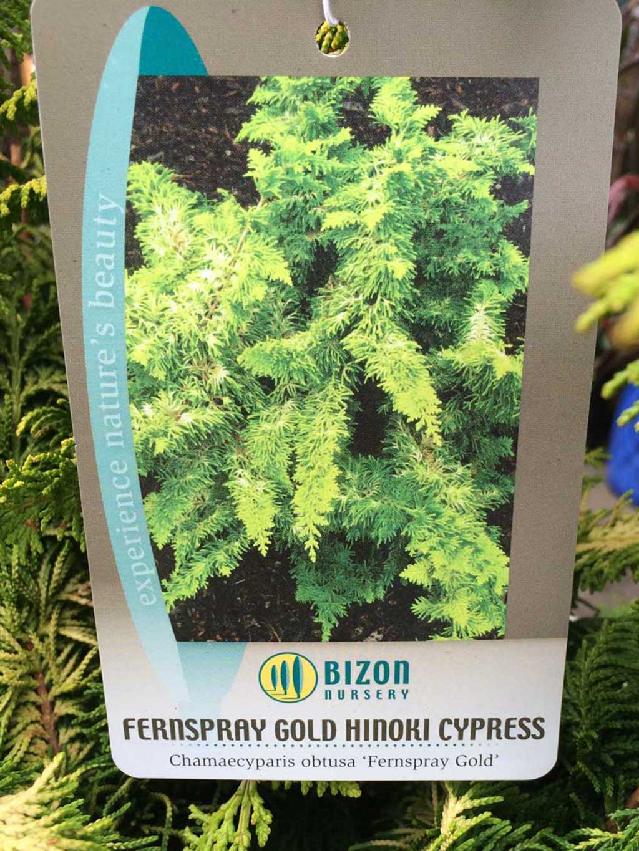 Hinoki Cypress 'Fernspray-Gold'