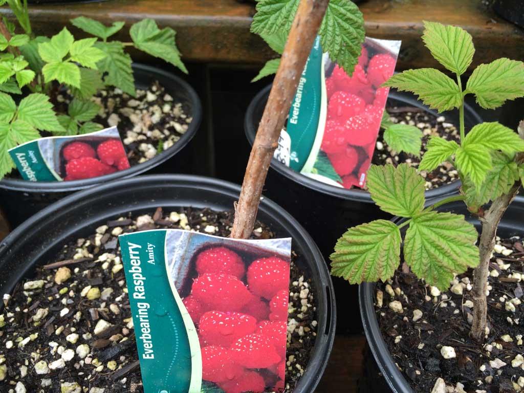 Raspberry Edible Shrub