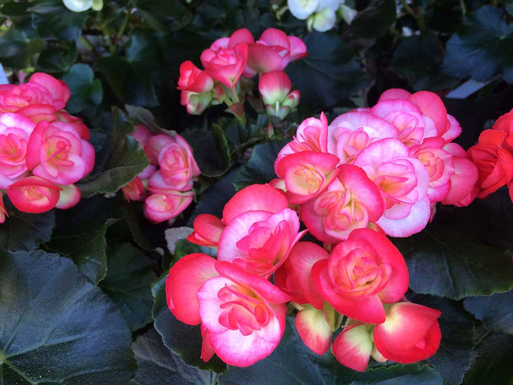 Reiger Begonias Great For Mother's Day