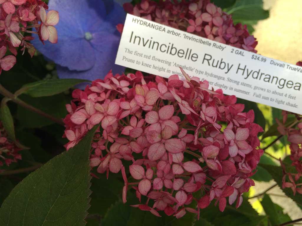 Invincibelle Ruby Hydrangea