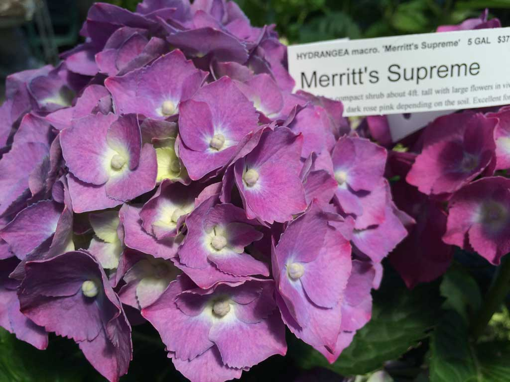 Merritt's Supreme Hydrangea