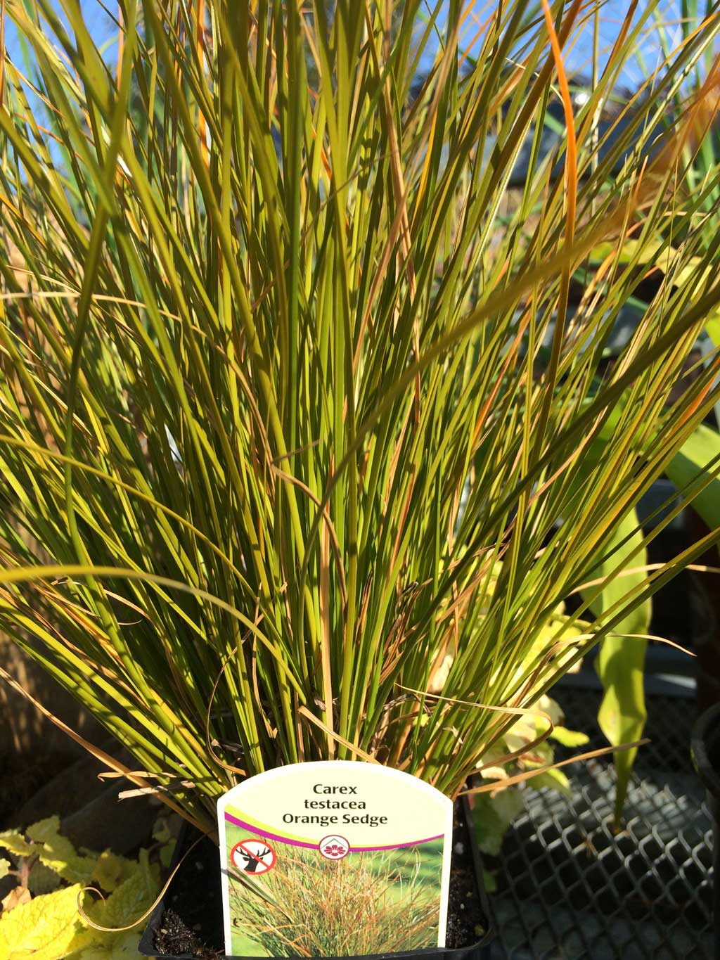 Carex Orange Sedge