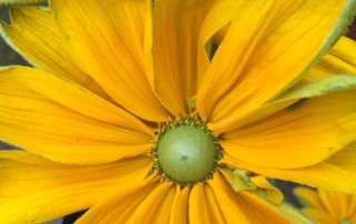 Irish Eyes Rudbeckia