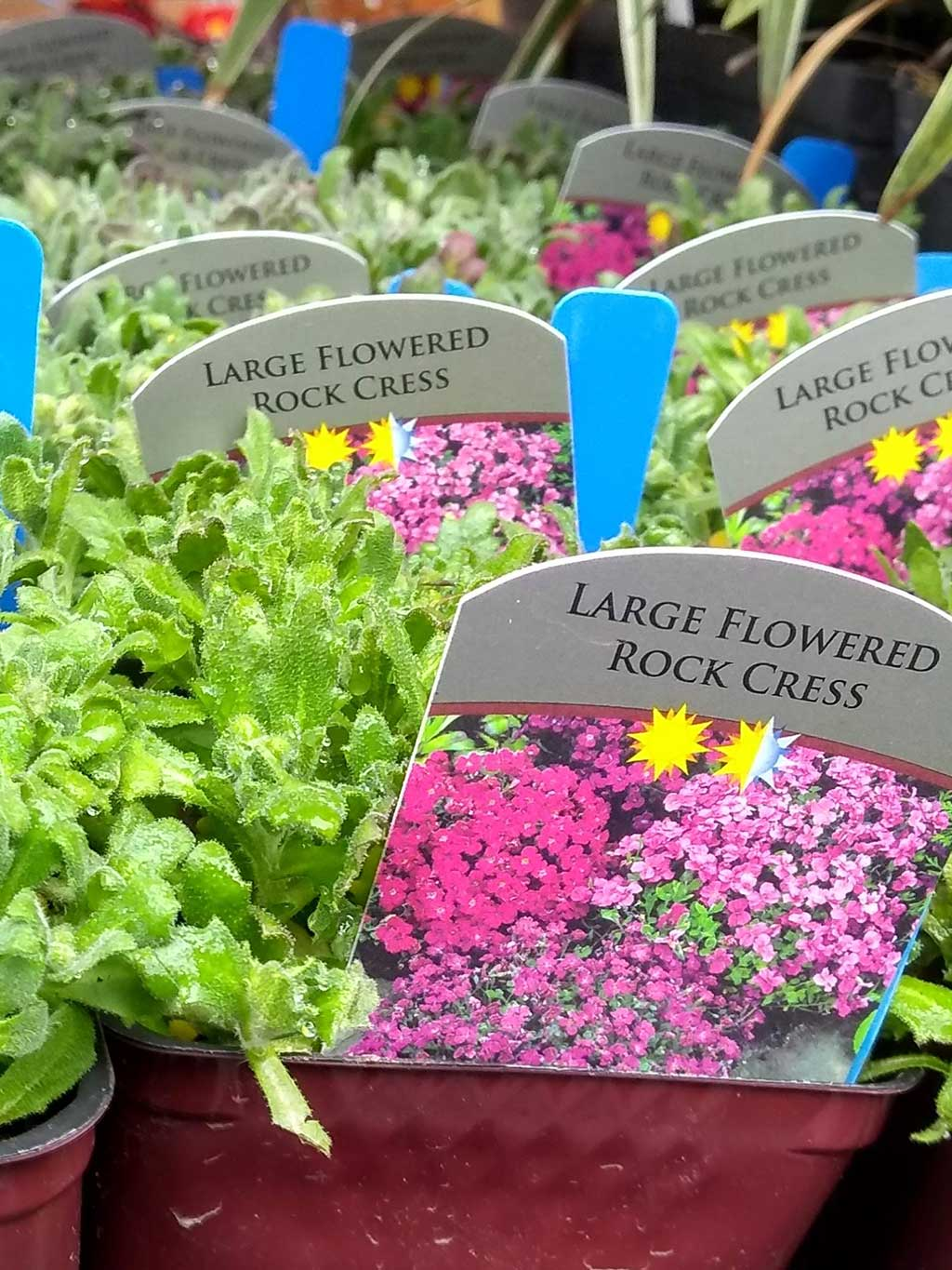Large Flowering Rock Cress