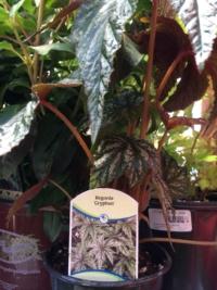 "Begonia ""Gryphon"""