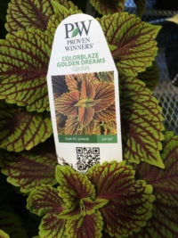 Colorblaze Golden Dreams Coleus