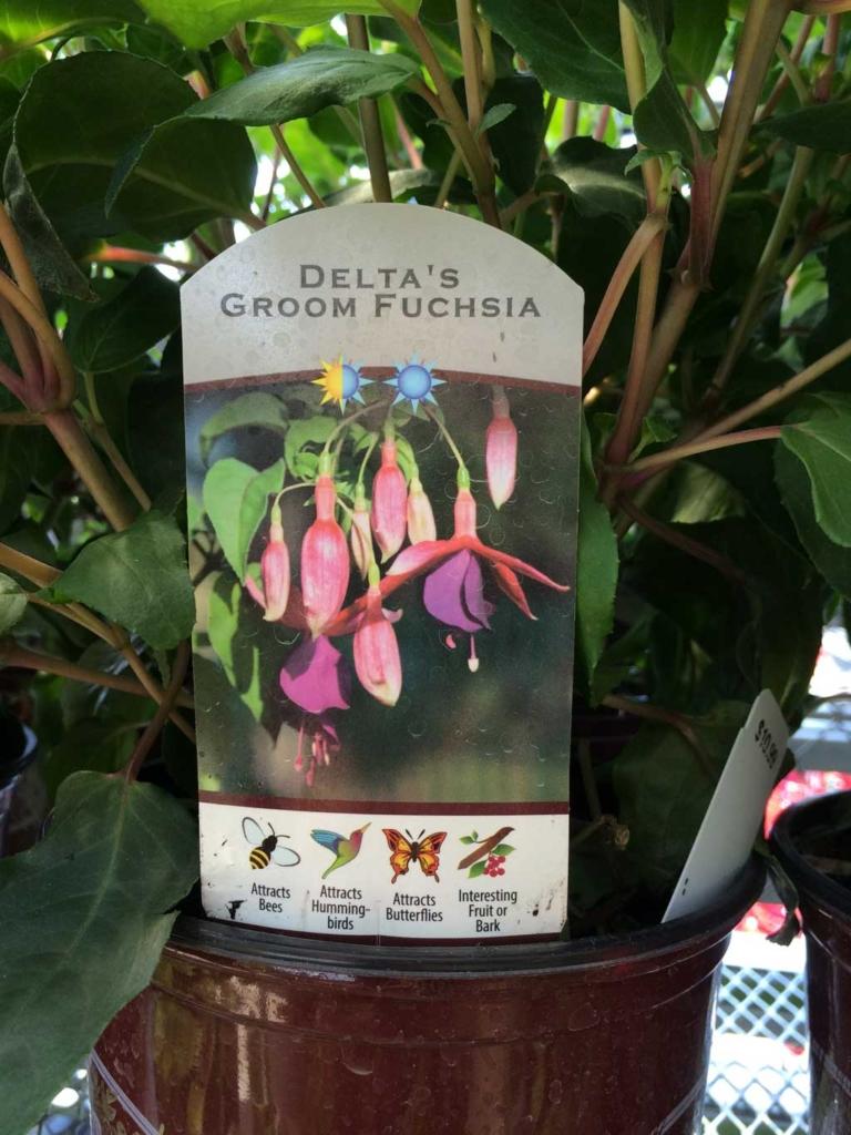 Delta's Groom Fuchsia