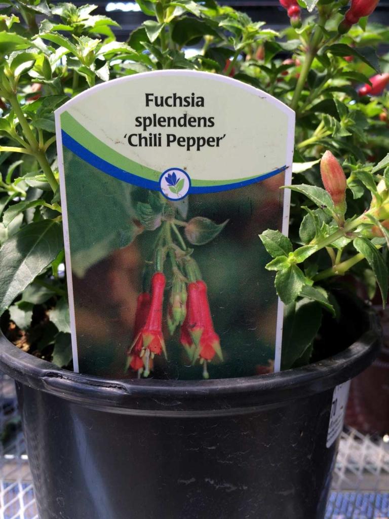 """Fuschia Splendens """"Chilli Pepper"""""""