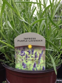 Impress Purple Lavender