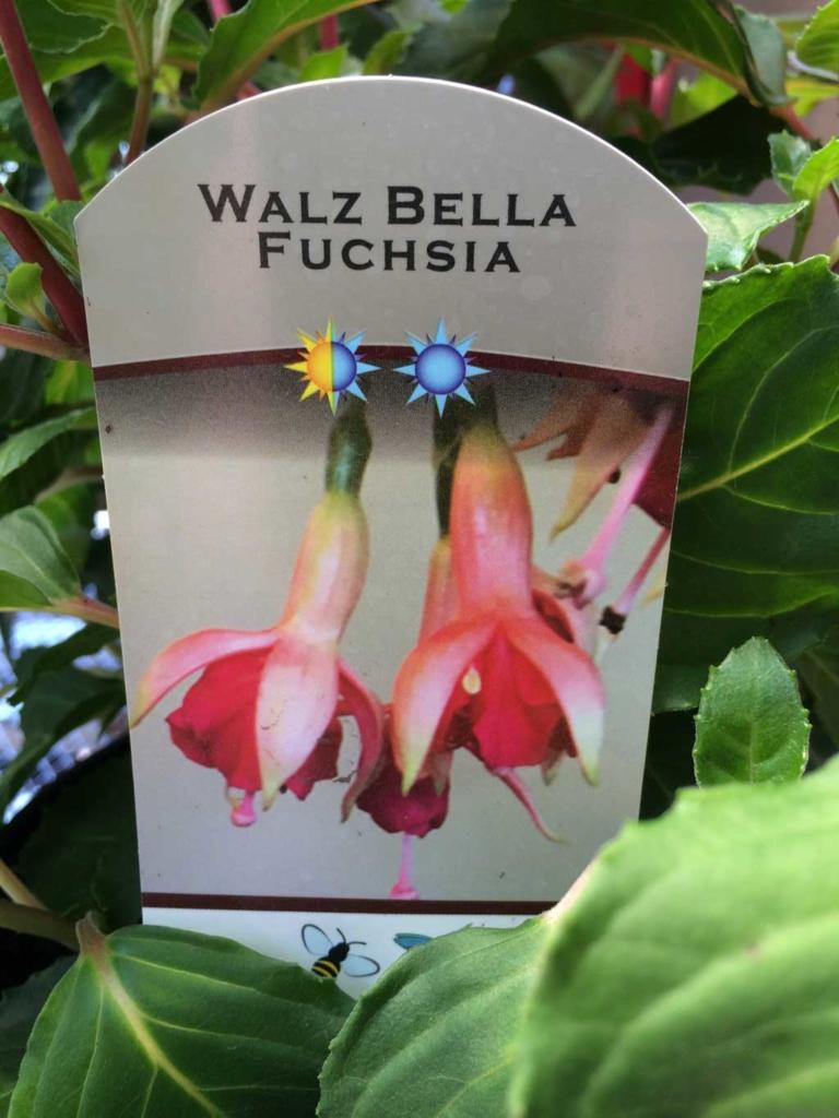 Walz Bella Fuchsia