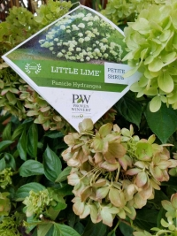 Little Lime Panicle Hydrangea