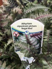 athyrium-niponicum-pictum-regal-red