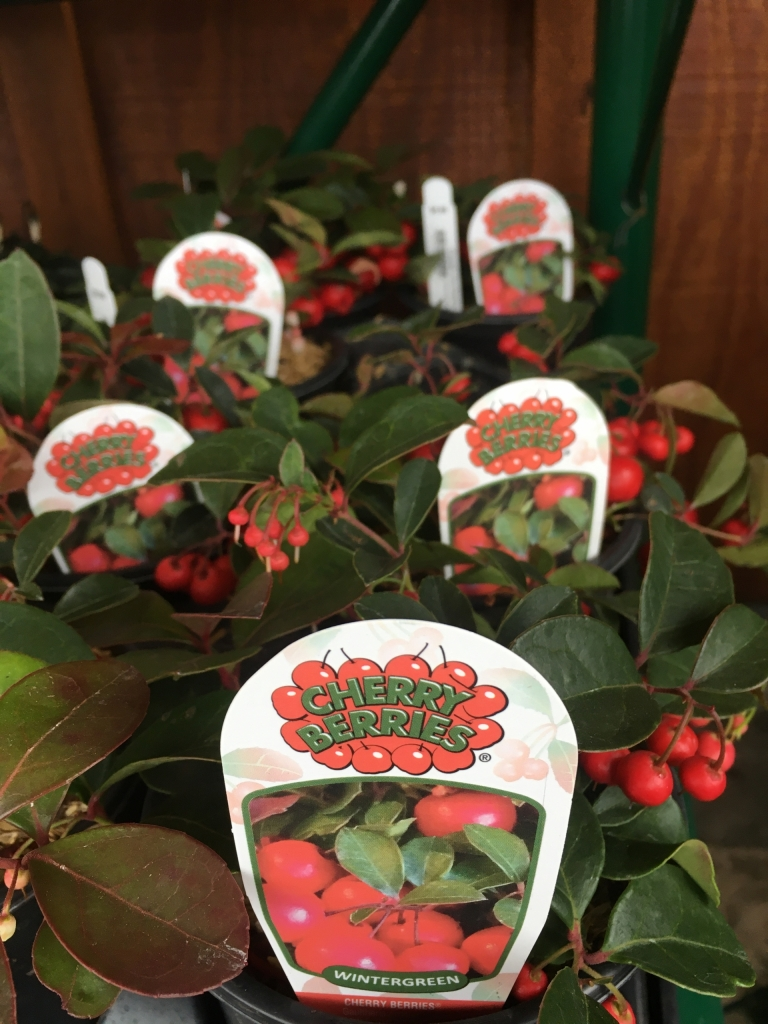 Cherrie Berries Wintergreen
