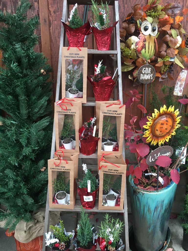Live Christmas Plants