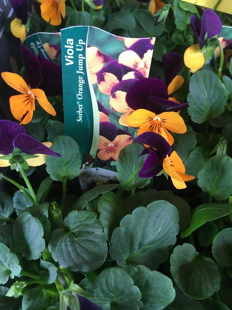 Sorbet Orange Jump Up Viola