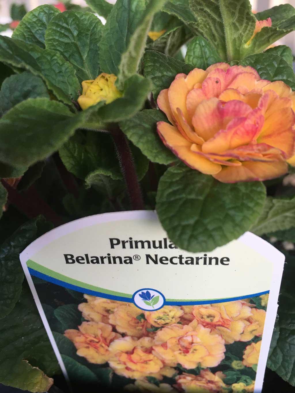 Primula-Belarina-'Nectarine'
