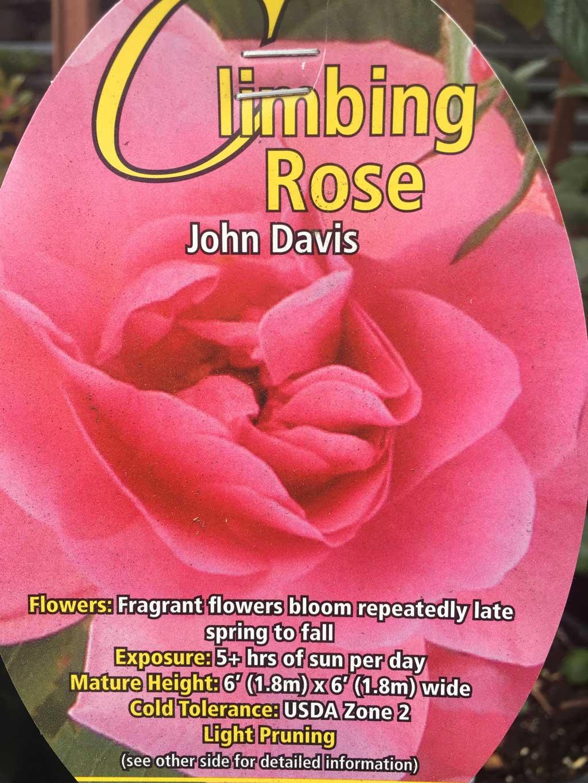 John Davis Climbing Rose