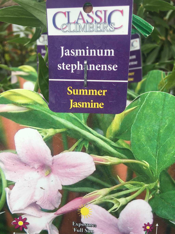 Summer Jasmine