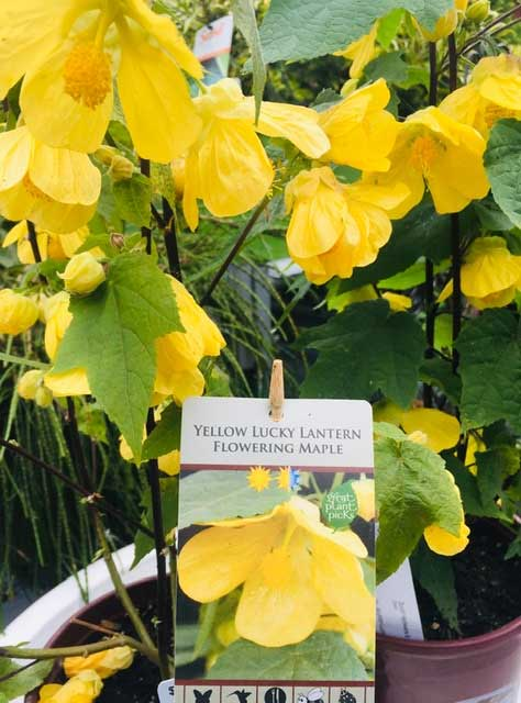 Yellow Lucky Lantern Flowering Maple