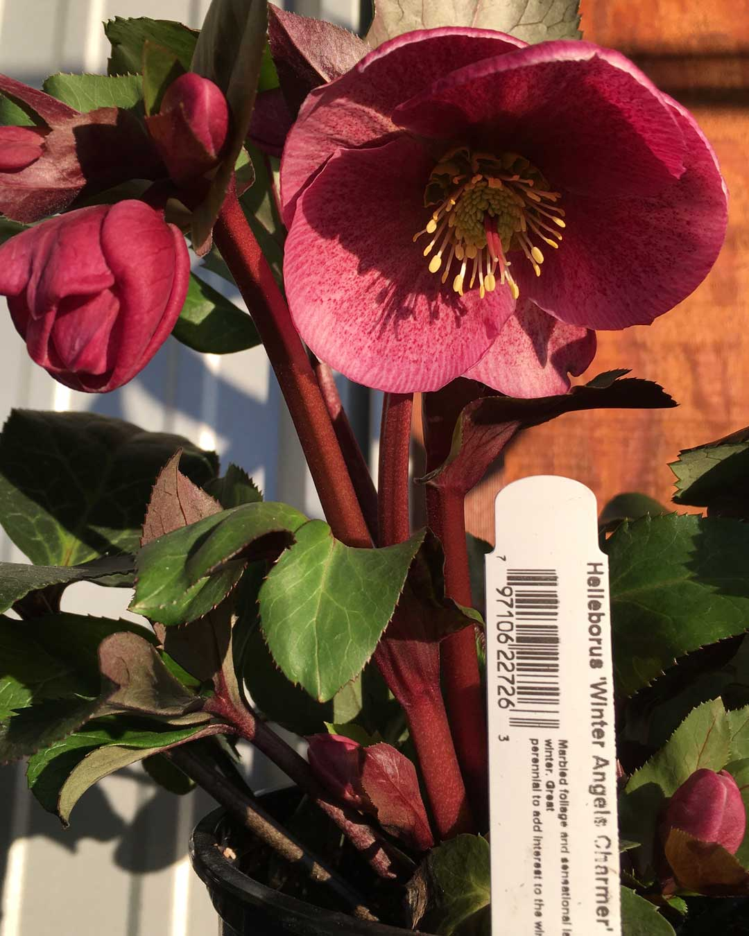 Winter blooming pink Winter Angels Charmer Helleborus in stock