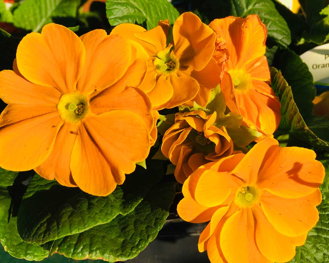 orange primroses in stock