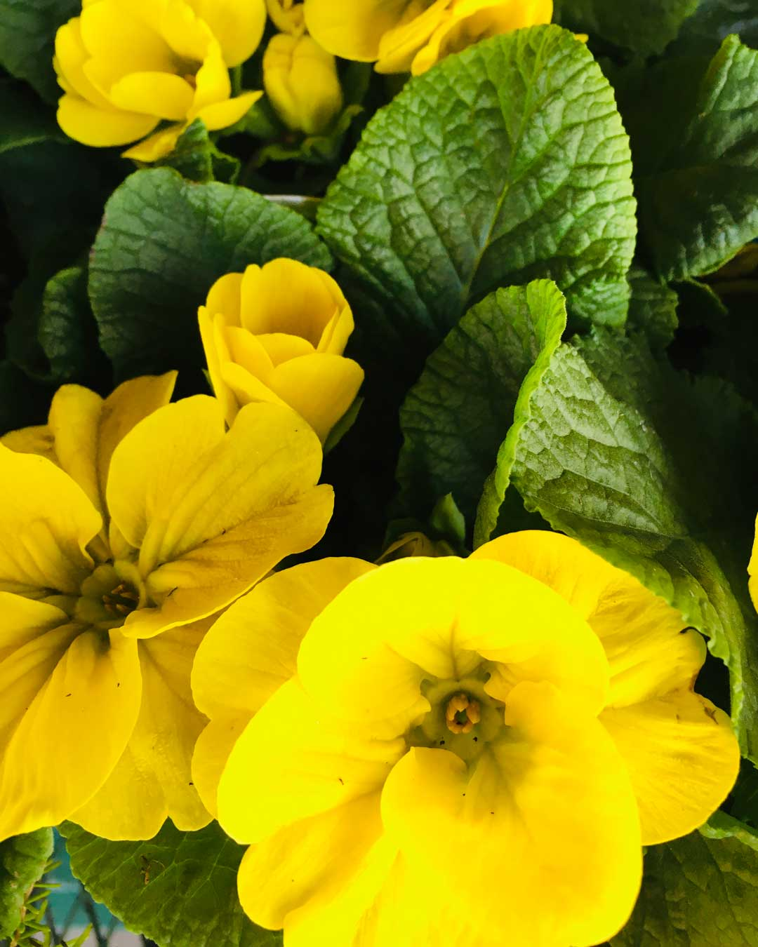 yellow primroses in stock