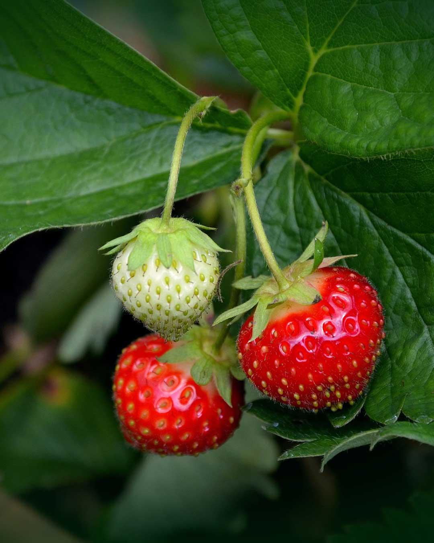 strawberry starts in stock