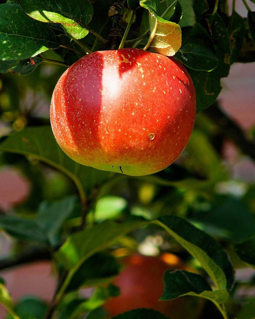 fruit trees on sale