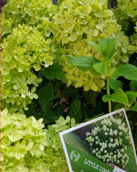 Blooming hydrangea in stock