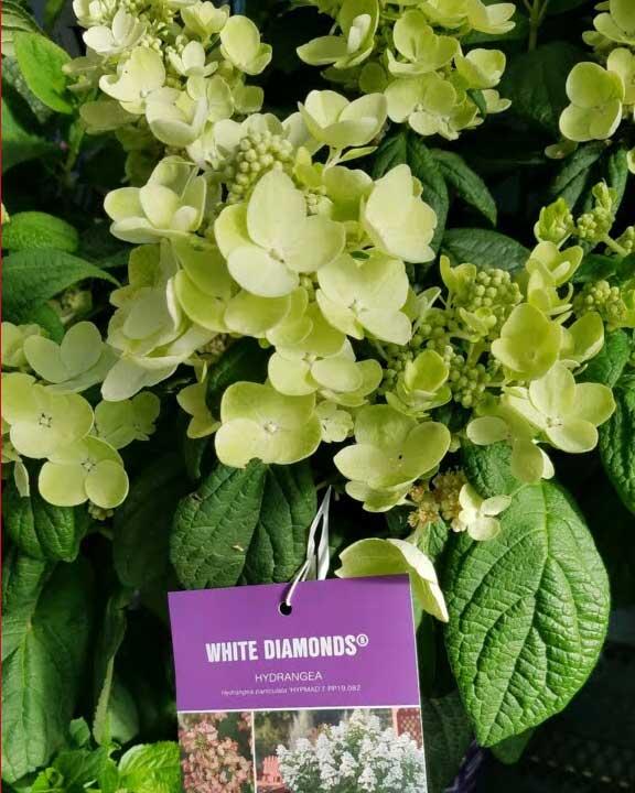 Blooming Hydrangeas in stock